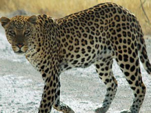 Another Leopard Spotted Trapped This Time Near Tumakur