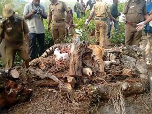 Female Tiger Found Dead Tea Estate