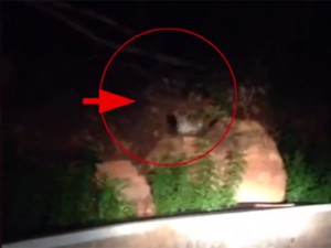 Watch Leopard Seen Walking Near Tirupati Balaji Temple