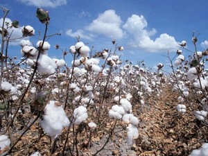 Monsanto Pulls New Gm Cotton Seed From India Protest