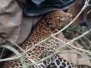 Leopard Found Dead Near Ooty