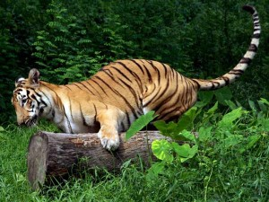 Appearing Tiger Near Senkottai People Panic