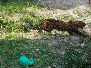 Leopard Kills Man At Senkottai