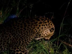 A Leopard Threatening Public Near Nellai