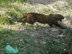 Leopard On Prowl Village People Panic