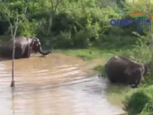 Elephants Came Of Forest An Taking Bath Pool