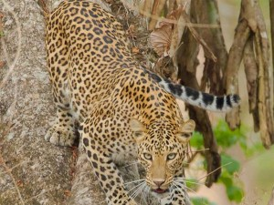 Leopard Electrocuted Found Hanging From Electric Pole Telangana