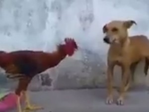 Cock Chasing Dog Viral Video