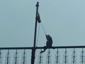 Monkey Hoists Tricolor Rajasthan