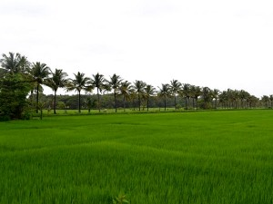 The Government Tamil Nadu Has Ordered Raise The Minimum Support Price For Paddy