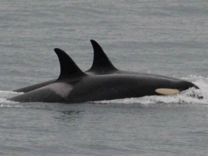 Killer Whale Abandons Dead Body Calf After 17 Days