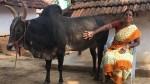 Selvarani Who Says No Wedding Jallikkattu