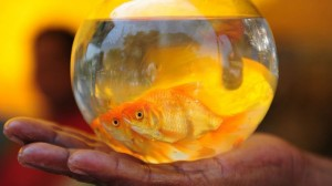 Fish Sauced Goldfish Turn Alcohol Survive Icy Winters